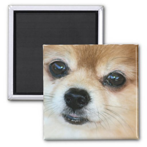 Papillon Puppy Square Magnet Refrigerator Magnets