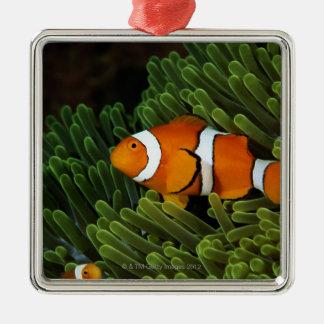 Papua New Guinea, false clown anemonefish and Christmas Ornament