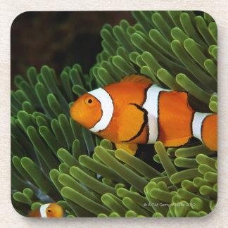 Papua New Guinea, false clown anemonefish and Coasters