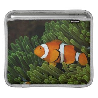 Papua New Guinea, false clown anemonefish and iPad Sleeve