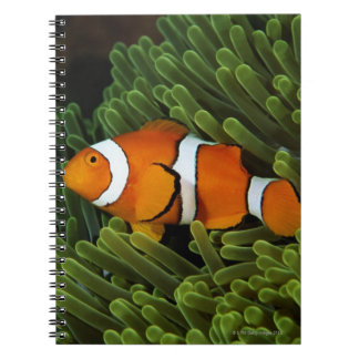 Papua New Guinea, false clown anemonefish and Notebook