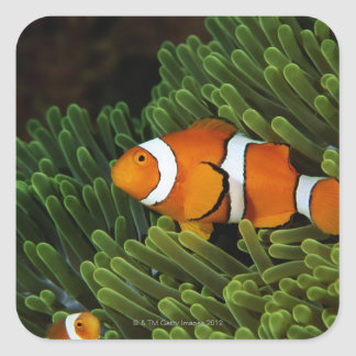 Papua New Guinea, false clown anemonefish and Square Sticker
