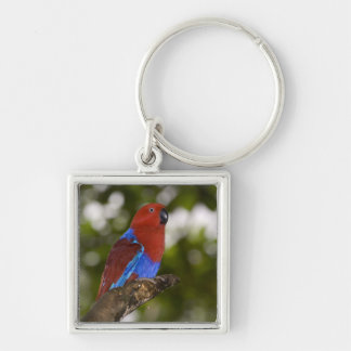Papua New Guinea, Lae. Female Eclectus Parrot. Key Ring