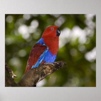 Papua New Guinea, Lae. Female Eclectus Parrot. Poster