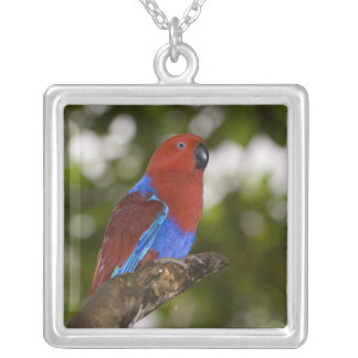 Papua New Guinea, Lae. Female Eclectus Parrot. Silver Plated Necklace