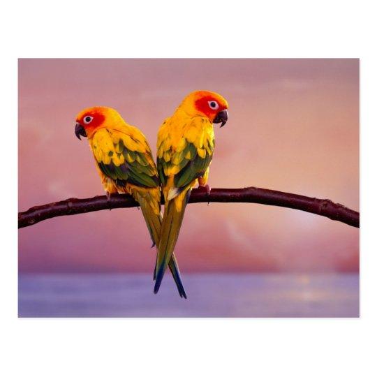 Paradise Parrots Postcard