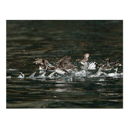 Parakeet Auklets, Castle rock, Shumagin Islands Post Cards