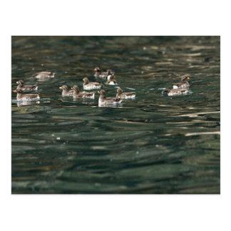 Parakeet Auklets, Castle Rock, Shumagin Islands Postcard