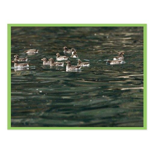 Parakeet Auklets, Castle Rock, Shumagin Islands Post Card
