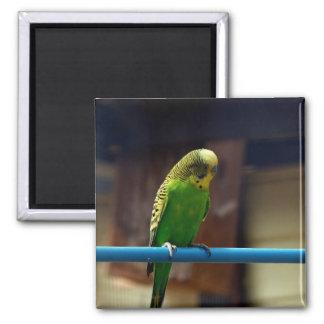 Parakeet Magnet