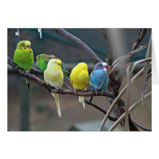 Parakeets Budgies | Birds Photo Card