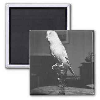 Parrot sitting on candlestick B&W Magnet