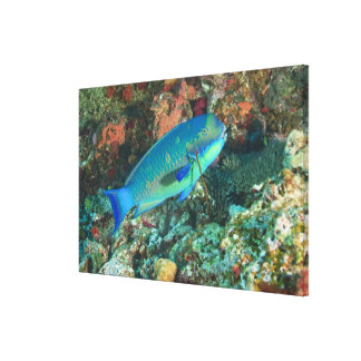 Parrotfish near Taveuni Island, Fiji, South Canvas Print
