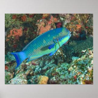 Parrotfish near Taveuni Island, Fiji, South Poster