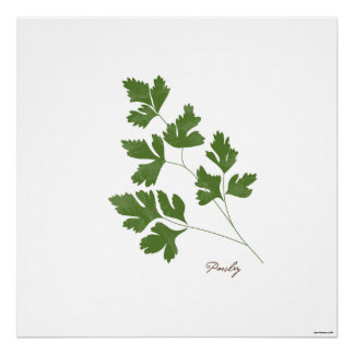 Parsley Stem Illustration |  Herb Botanical Print