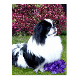 Parti-Color Pekingese Dogs Post Cards