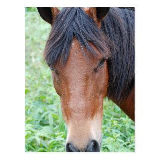 Paso Fino Horse Postcard