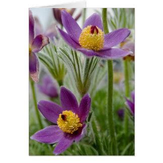 Pasque Flower or Pulsatilla Greeting Card