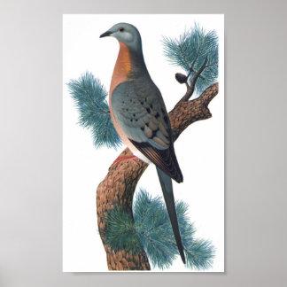 Passenger Pigeon - Ectopistes migratorius P/folio Poster