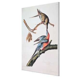 Passenger Pigeon, from 'Birds of America' Canvas Print