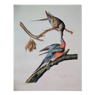 Passenger Pigeon, from 'Birds of America' Poster