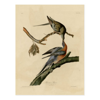 Passenger Pigeon Postcard