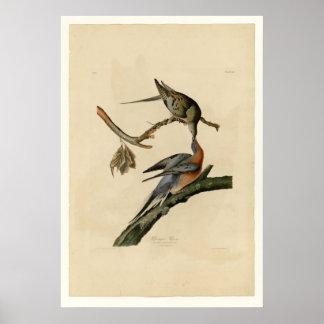 Passenger Pigeon Poster