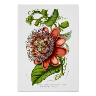 Passiflora quadrangularis decaisneana posters