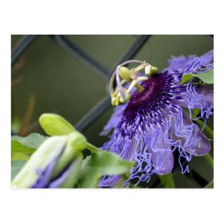 Passion Flower 3 Postcard