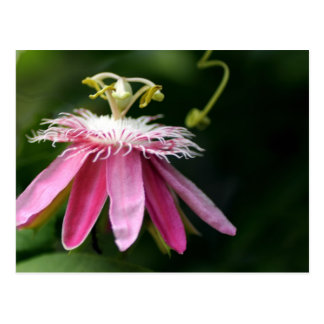 passion Flower 4 Postcard
