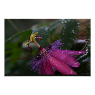 Passion Flower Posters