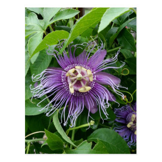 Passion Flower Purple and Green Post Cards