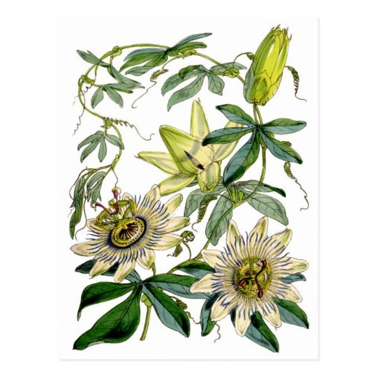 Passion Flowers Botanical Illustration Postcard