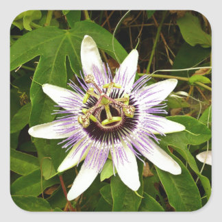 Passion Fruit Flower Square Sticker