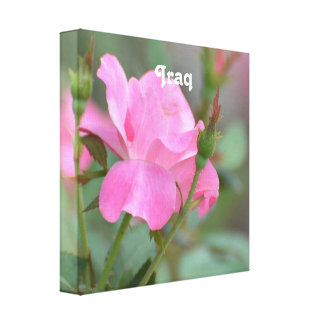 Pastel Pink Rose in Iraq Gallery Wrap Canvas