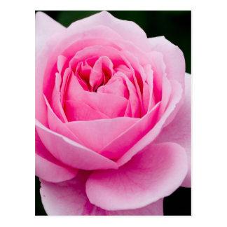 Pastel Pink Rose Postcard