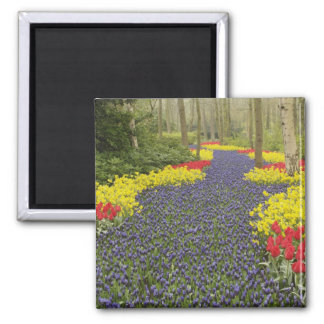 Pathway of Grape Hyacinth, daffodils, and Magnet
