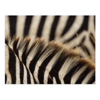 Pattern of Burchell s Zebra stripes Equus Post Cards