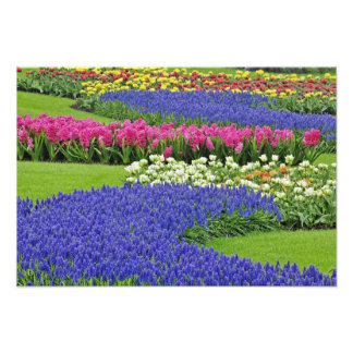 Pattern of Grape Hyacinth, tulips, and 3 Photo