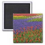 Pattern of tulips and grape hyacinth flowers, 2 square magnet