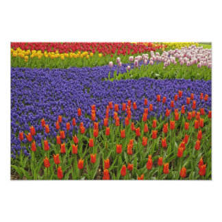 Pattern of tulips and grape hyacinth flowers, 2 photographic print