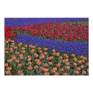 Pattern of tulips and Grape Hyacinth flowers, 3 Poster
