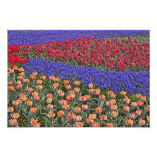 Pattern of tulips and Grape Hyacinth flowers, Photo Print