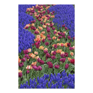 Pattern of tulips and Grape Hyacinth flowers, Photographic Print