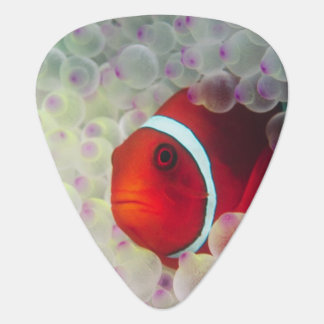 Paupau New Guinea, Great Barrier Reef, Guitar Pick