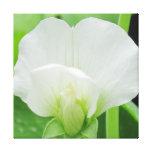 Pea Blossom Original Botanical art Wrapped Canvas Canvas Print
