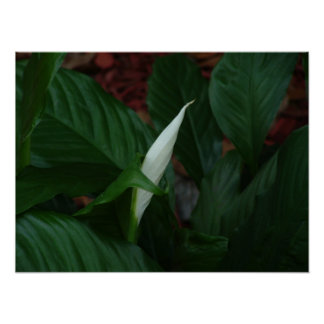 Peace Lilly Poster