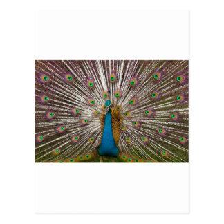 Peaceful Peacock Postcard