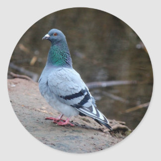 Peaceful pigeon classic round sticker
