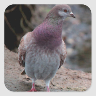 Peaceful pigeon square sticker